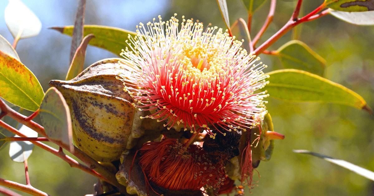 L'eucalyptus, qui compose le <strong>baume d'Aiguebelle</strong>, est un antiseptique et astringent permettant la désinfection de plaies. Il permet aussi de lutter contre les inflammations des voies respiratoires et digestives
