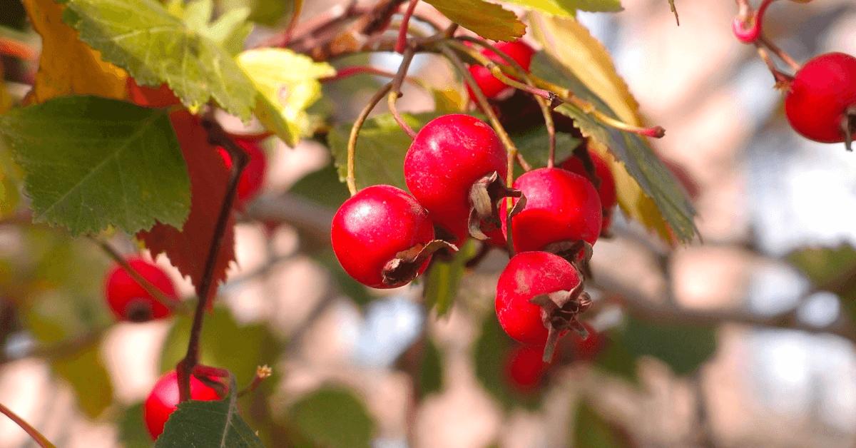L'aubépine, présente dans l'Alexion d'Aiguebelle, est une plante riche en sels minéraux