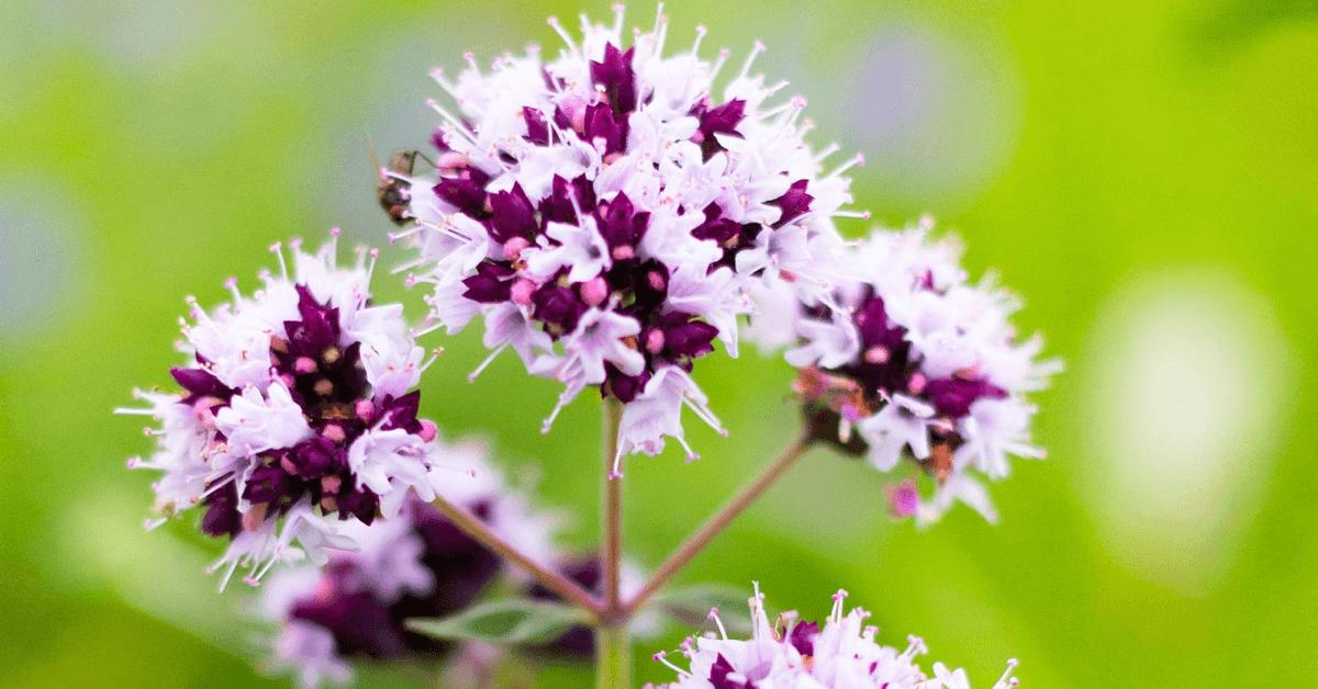 La marjolaine est l'une des plantes entrant dans la composition de l'élixir végétal de la Grande Chartreuse»