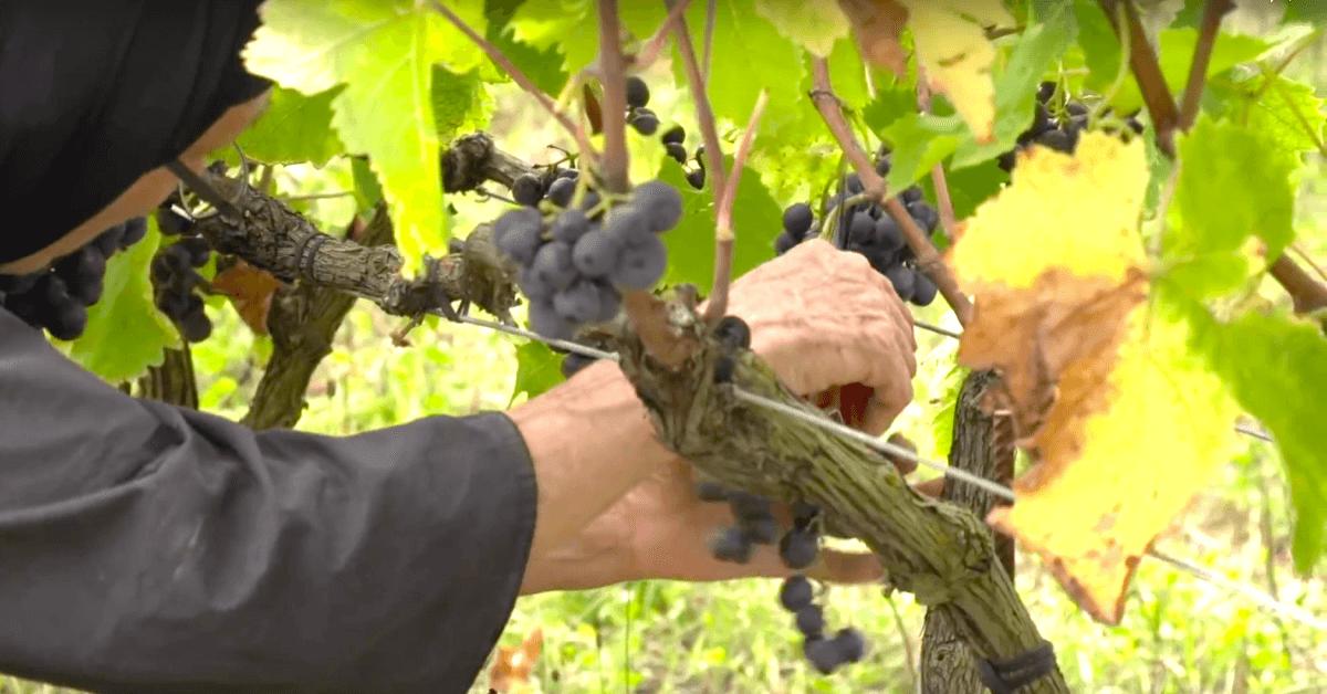 Les soeurs cueillent elles-mêmes le raisin de leurs vignes, et réalisent avec un délicieux vin