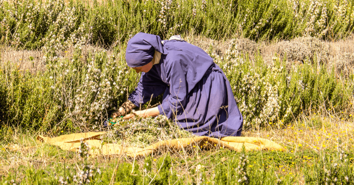 Une soeur du monastère de Taulignan cueille à la main des plantes dans son jardin, afin de réaliser des huiles essentielles et des tisanes bio